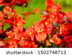 Flowers Of Red Begonia On A...