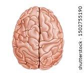 The Human Brain. Top View....
