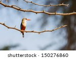 Gray Headed Kingfisher  Halcyo...
