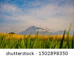 Small photo of Green and yellow rice plant photographed in close up with beautiful background of Merapi volcano with whitey blue sky. Panoramic view.