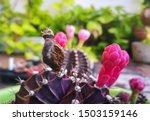 Cactus Seed Name Gymnocalycium...