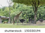 Giraffe And Egret Under The...