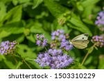 Cabbage White Butterfly Feedin...