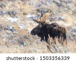 A Bull Moose Stands On The...