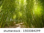 Bamboo Plantation  Green Bamboo ...