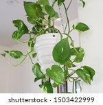 Pothos Money Plant With Lush...