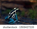 Poison Arrow Frog ...