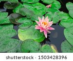 Pink Water Lilly Flower In A...