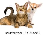 Stock photo the puppy chihuahua and cat in studio on a neutral background 15035203