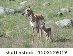 Pronghorn Antelope Mom With Baby