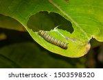 Monarch Butterfly Caterpillar...