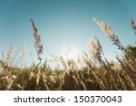 grass in a field on a sunny day. | Shutterstock . vector #150370043