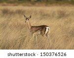 Lamb Of A Grant    S Gazelle