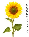 Sunflower Isolated On White...