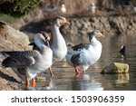 Three Ducks And Other Birds On...