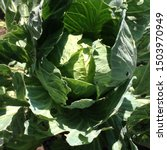 Small photo of Macro photo head of cabbage in the garden