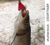Small photo of Macro photo predatory fish caught on a hook. Fishing Photo fish catch on hook