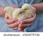 Small Yellow Chickens In The...
