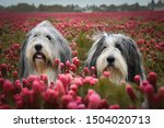 Portrait Of Two Bearded Collie...