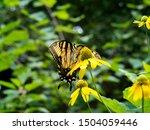 A Large Yellow Swallowtail...