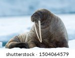 Closeup on svalbard walrus with ...