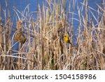 Cape Weaver  Ploceus Capensis ...
