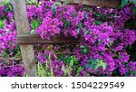 Purple Bougainvillea Flowers...