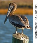 Brown Pelican On Wood Post Wit...