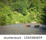 Cows Wade Cross The River Water ...