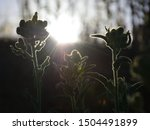 Backlit Wild Plants With The...