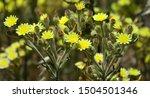 Wild Plant Of Senecio With Many ...