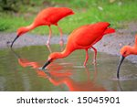 Scarlet Ibis Birds In The Wild