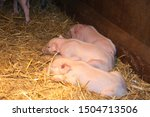 Three Little Pigs   Two Days Old