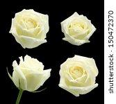 Stock photo white rose isolated on black background 150472370