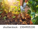 Farmer Pulling Beetroot Out Of...