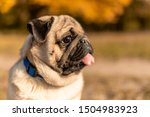 Stock photo portrait of a pug dog sitting in the autumn park on yellow leaves against the background of trees 1504983923