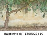 A Dry Olive Tree With Green...