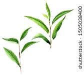 green tea leaves. leaf plant...   Shutterstock . vector #1505038400