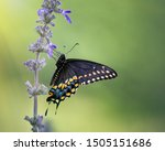 Black Swallowtail Butterfly ...
