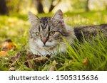 Beautiful Cat Lies On The Grass ...