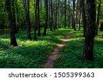 Trail Through Tall Trees In A...