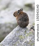 Small photo of American Pika Back