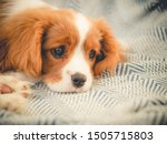 Stock photo cavalier king charles spaniel puppy 1505715803