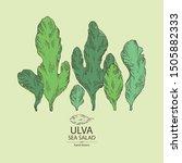 Background with ulva: sea salad seaweed, ulva leaves. Green algae. Edible seaweed. Vector hand drawn illustration