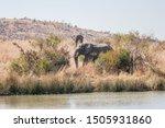 Two African Bush Elephant Bull...