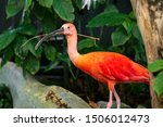 The scarlet ibis is a species...