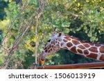 giraffe  closeup photo of...   Shutterstock . vector #1506013919