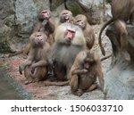 Family Group Of Hamadryas...