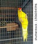 Yellow Budgie Parrot Pet Bird...