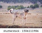 Anatolian Sheepdog Kangal...